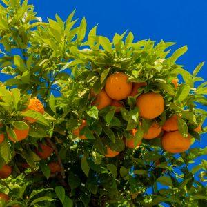 Mandarina / Citrus Reticulata