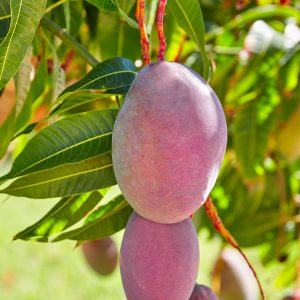 Mango / Mangifera Indica