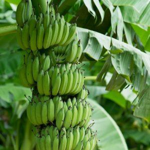 Plátano / Musa Paradisiaca